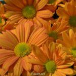 Оранжевые хризантемы крупным планом