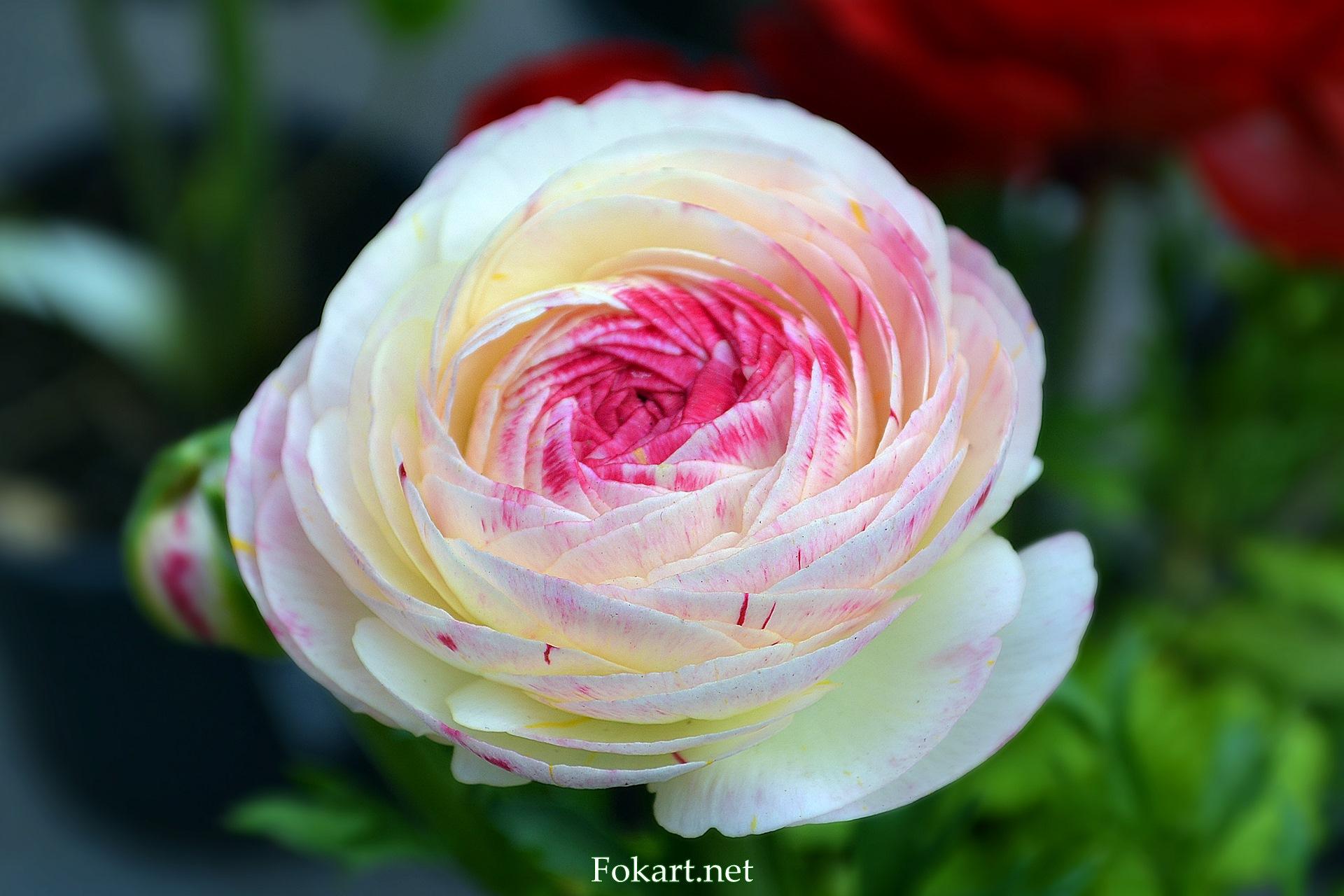 Лютик, охожий на розу