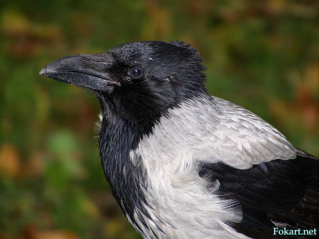 Профиль серой вороны