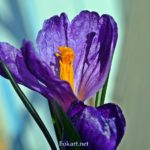 Фиолетовый крокус вблизи