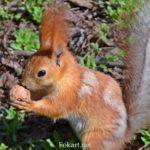 Белка с грецким орехом в апреле