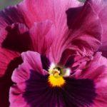 Виола пурпурного цвета вблизи