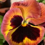 Терракотовый цветок виолы крупно