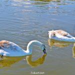 Два молодых лебедя-шипуна