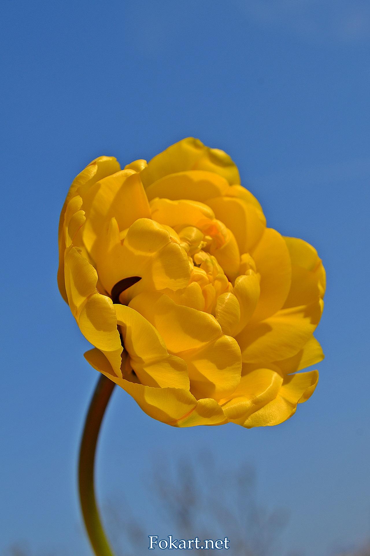 Жёлтый махровый тюльпан на фоне неба