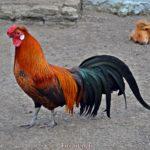 Красавец-петух, порода Феникс