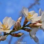 Миндаль цветёт