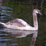 Молодой лебедь-шипун, фото 2
