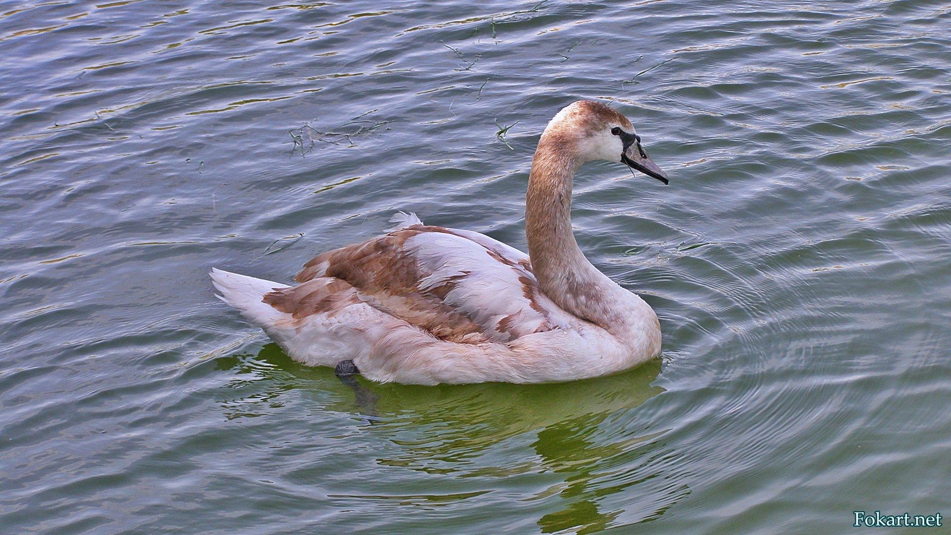 Молодой лебедь-шипун