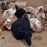 Овцы отдыхают