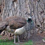Пава, или самка павлина обыкновенного