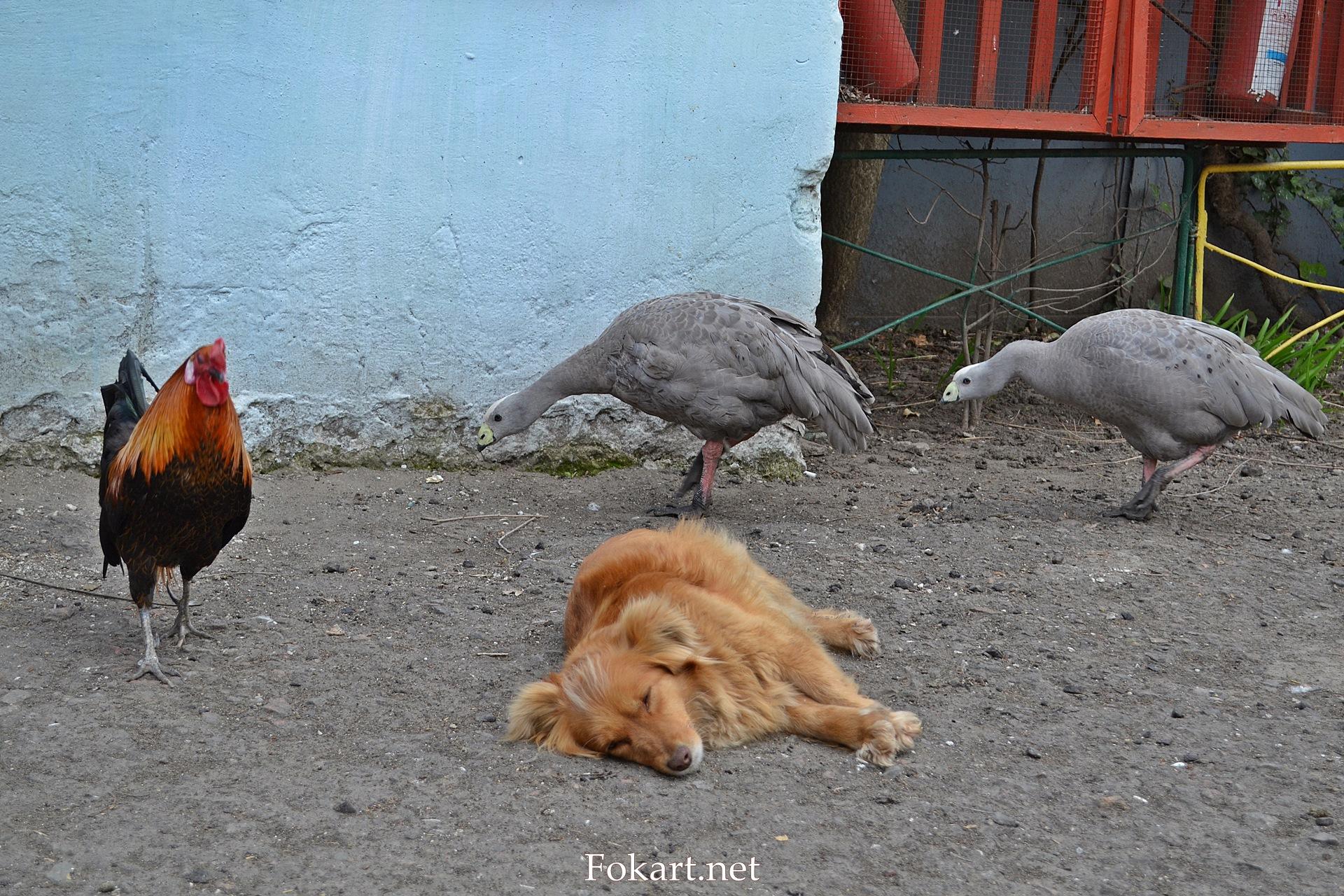 Куриные гуси, петух и спящая собака