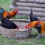Петухи и курочки декоративной породы Феникс возле кормушки
