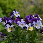 Симпатичные мелкие цветочки виолы, анютины глазки