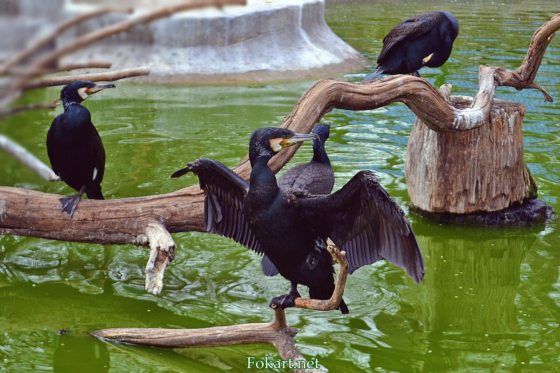 Бакланы в одесском зоопарке