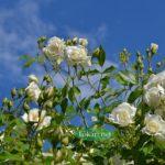 Белые розы на фоне синего неба