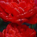 Два красных махровых тюльпана