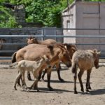 Лошади Пржевальского в вольере