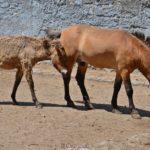 Лошади Пржевальского, самец и подросший жеребёнок
