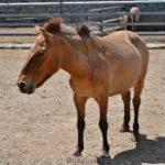 Лошадь Пржевальского в вольере