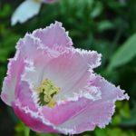 Бело-розовый бахромчатый тюльпан под дождём