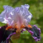 Сиренево-фиолетовый ирис