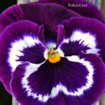 Виола, фиолетовая с белым, вертикальная картинка