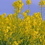Желтые соцветия рапса