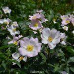 Цветущий куст шиповника