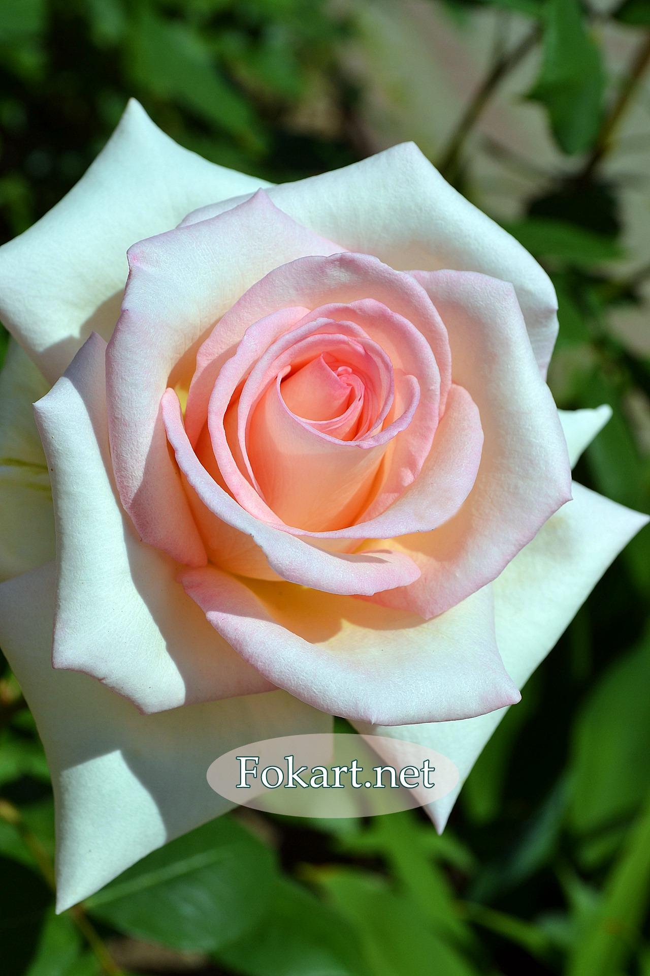 Очень красивая нежная роза, в серединке - светло-розовая