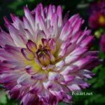 Бело-малиновый цветок георгины Лабелла вблизи