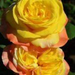 Две розы, жёлтые в середине, абрикосовые по краям