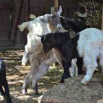 Игривые козлята в вольере зоопарка
