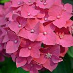Малиновое соцветие гортензии крупнолистной вблизи