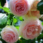 Три розочки на большом розовом кусте