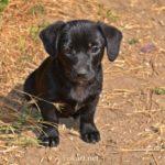 Чёрный щенок, дворняжка