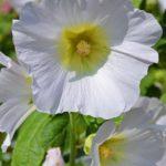 Белый цветок мальвы вблизи