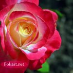 Яркая малиновая роза в августе
