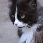 Пушистая чёрно-белая кошка с зелёными глазами