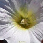 Серединка белого цветка мальвы