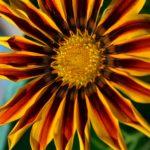 Яркий жёлто-красный цветок газании вблизи