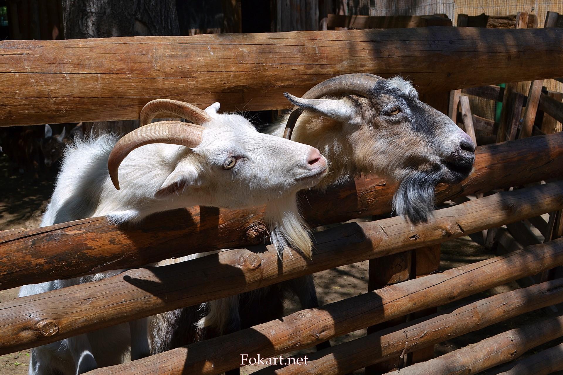 Коза и козёл выглядывают из-за забора, фото