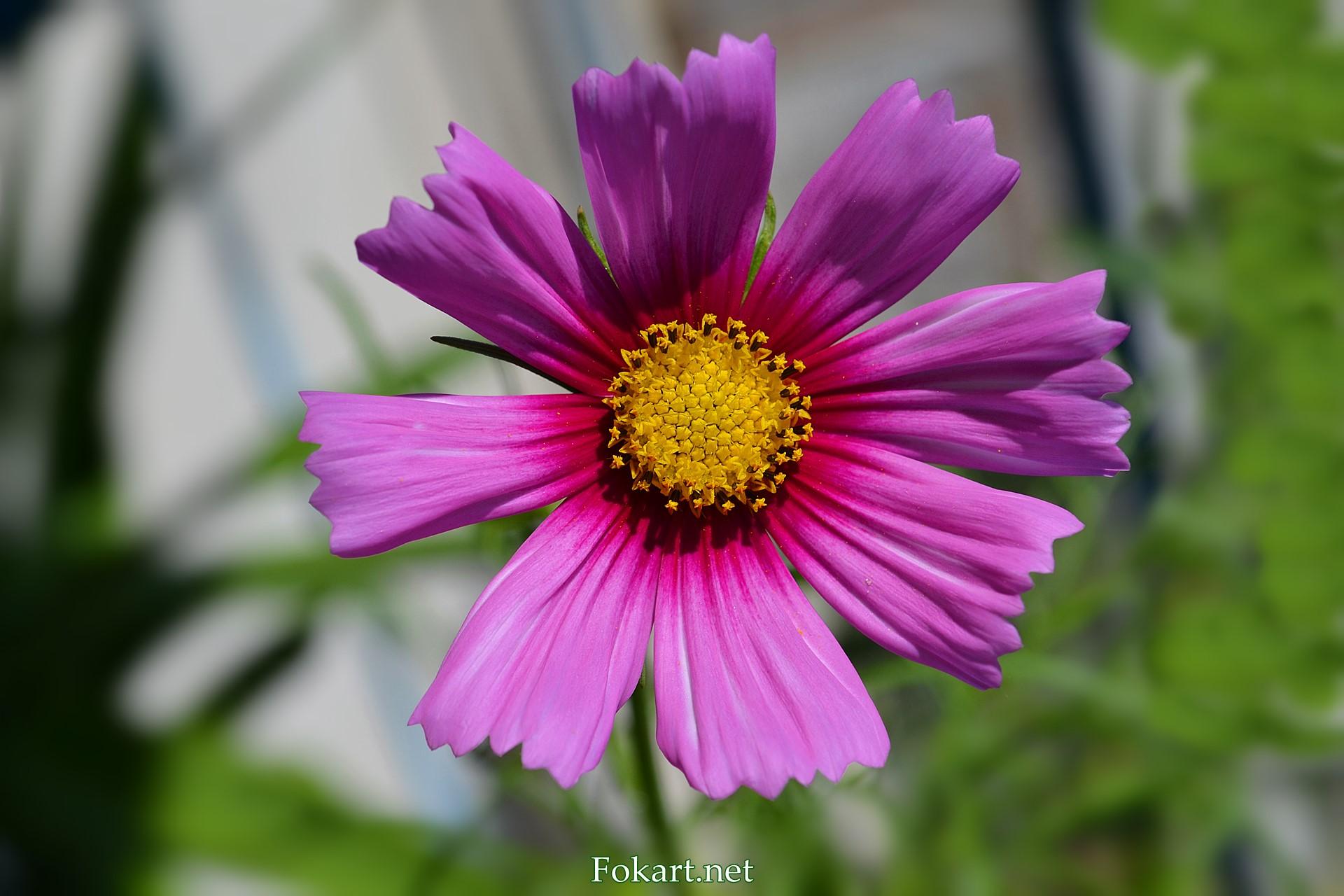 Тёмно-розовый цветок космеи крупным планом