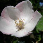 Цветок айвы крупным планом