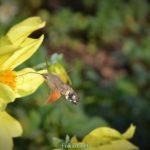 Языкан обыкновенный, парящий в воздухе возле жёлтого георгина