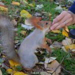 Белка берёт грецкий орех