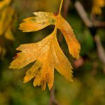 Осенний лист боярышника