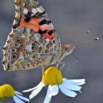 Бабочка репейница на цветке ромашки аптечной