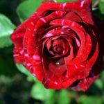 Красная роза с розовыми полосками
