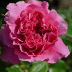 Розовая роза в росе